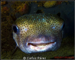 A smile, the language of the soul....Smyle puffer at a Ni... by Carlos Pérez